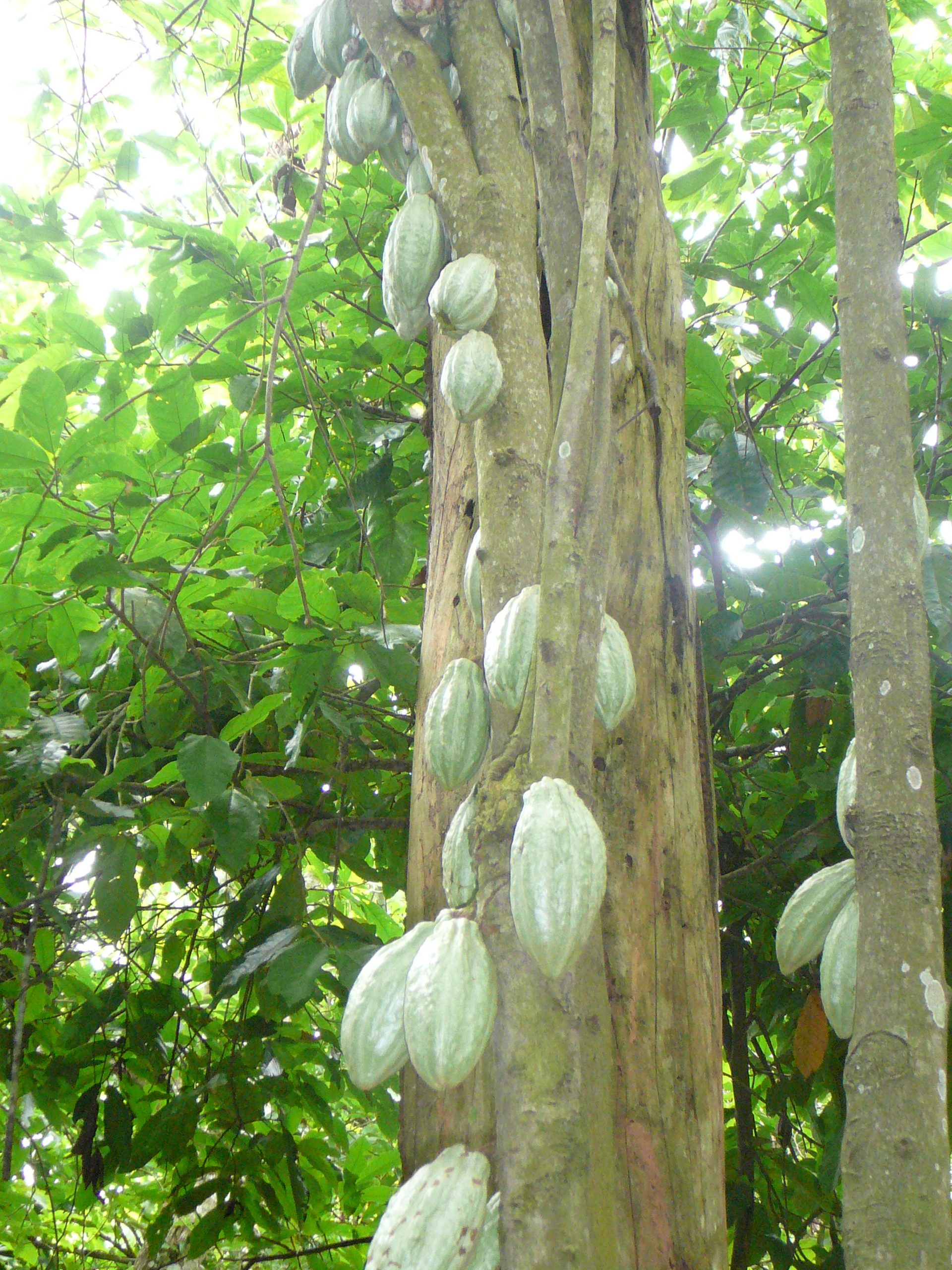 A cocoa tree in Ghana with green cocoa pods. The sun is shining through the leaves.