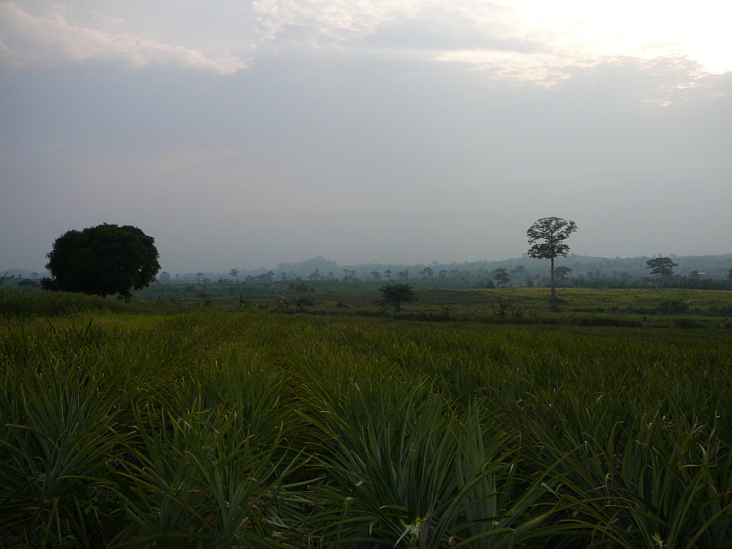 A large pineapple farm with a blue sky in Ghana.